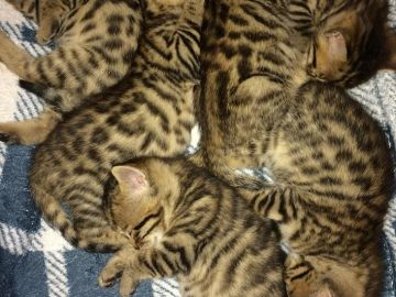 Bengálsko, mladá kočka