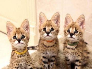 F1 Savannah koťata k adopci.