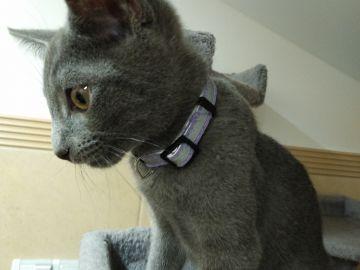 Prodám kocourka - ruská modrá kočka s PP