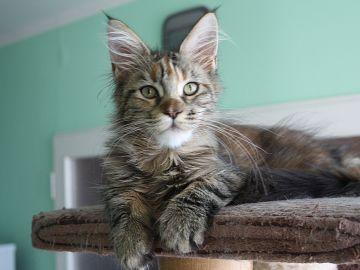 Prodám mainskou mývalí kočičku s PP