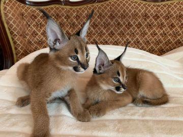 Serval a Savannah caracal koťata k dispozici