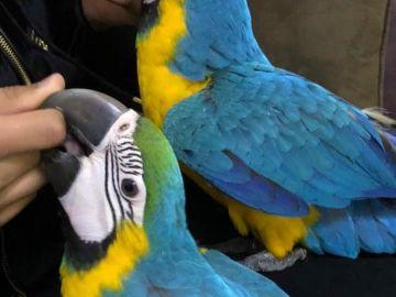 Baby Papoušek papoušek modrý a žlutý / zlatý