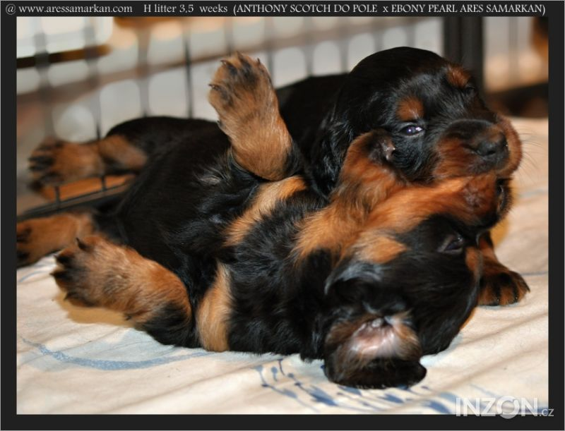 a49cfd54598 gordonsetr štěňata - gordon setter puppies - Brno-město