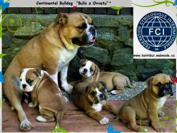 Kontinentální Buldok-Continental Bulldog s PP FCI !