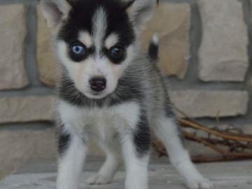 Modré oči štěňátka Pomsky