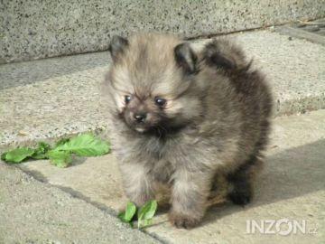 Německý špic trpasličí / Pomeranian
